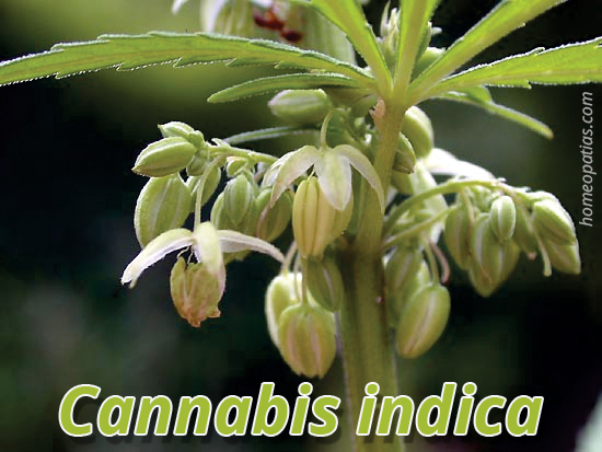 Cannabis indica.cdr