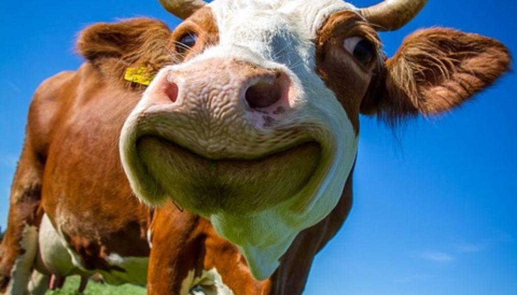 cow-2896329_960_720
