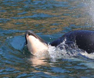 TUBERCULINISMO - ORCA CARREGA FILHOTE1